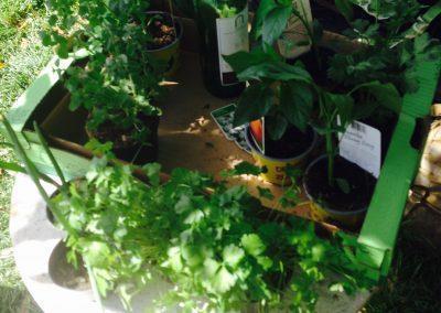 Ropotarnica - mestni vrt - peteršilj