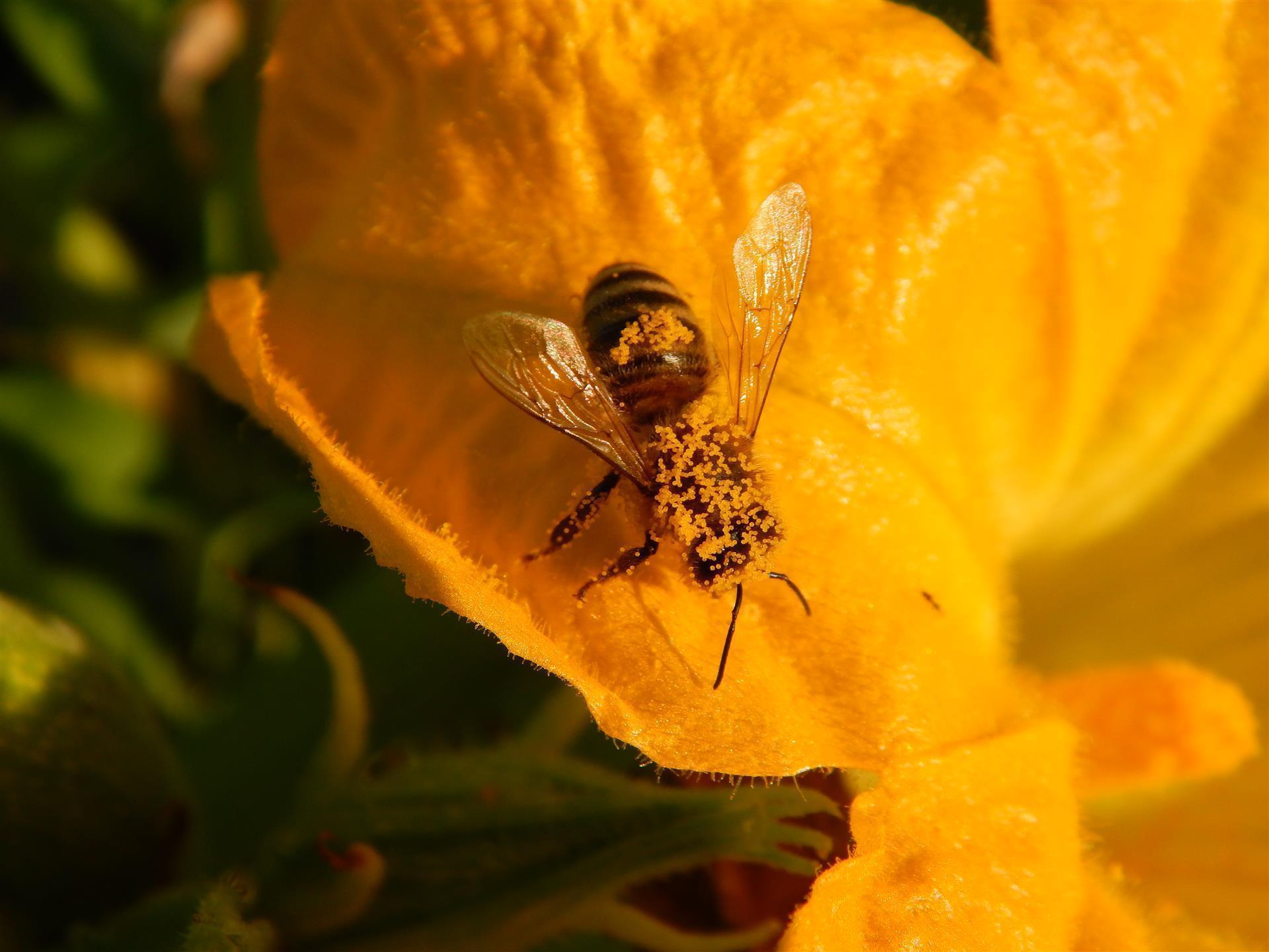Ropotarnica - mestni vrt pod Gorco - čebela